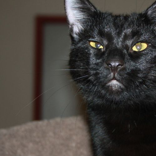 Benjamin - Domestic Short Hair Cat