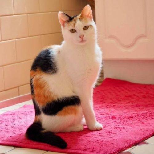 Nibbler - Domestic Short Hair Cat