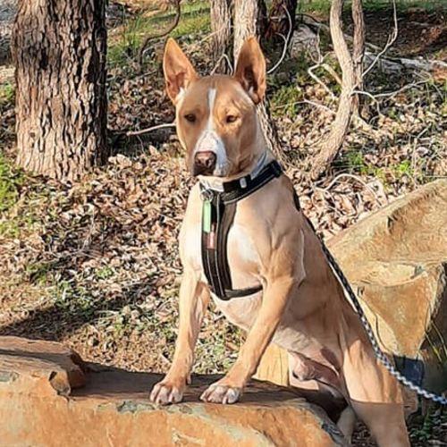 Scrappy DL2347 - Bull Terrier Dog