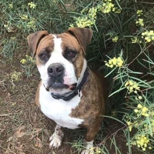 Abbie - American Bulldog