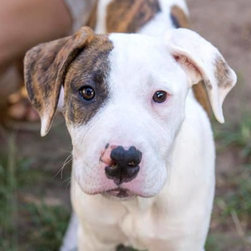 Snickers - British Bulldog x Bull Arab Dog