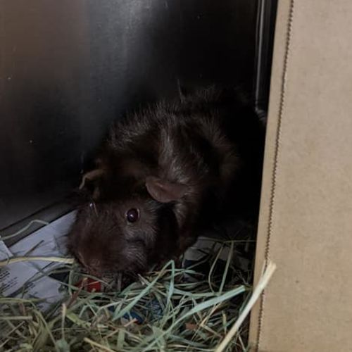 Curly - Abyssinian Guinea Pig