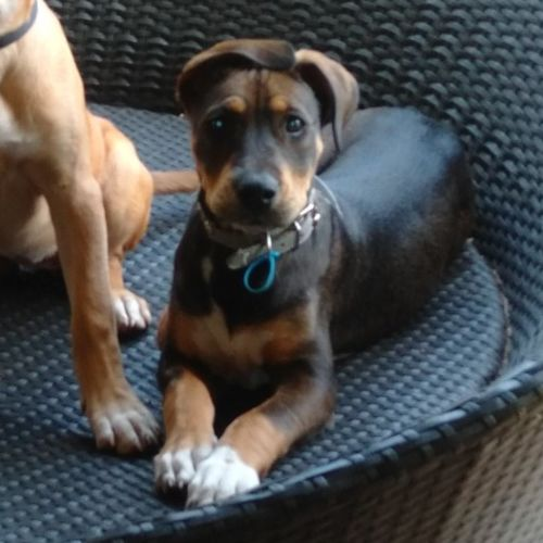 Azure - Mastiff Dog