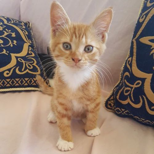 Widget - Domestic Short Hair Cat