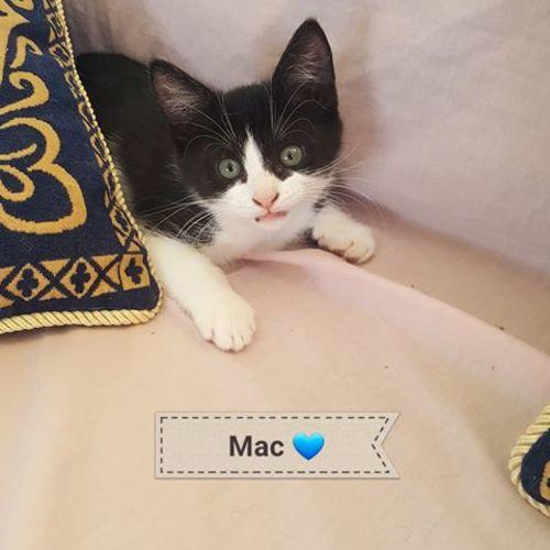 Mac - Domestic Short Hair Cat