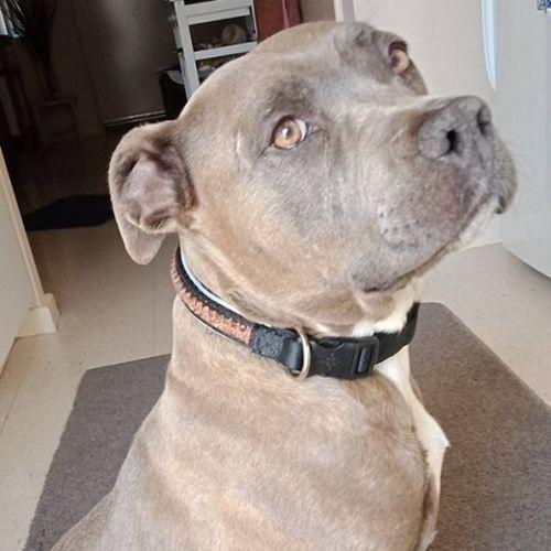 Kyra DB509 - American Staffordshire Terrier Dog