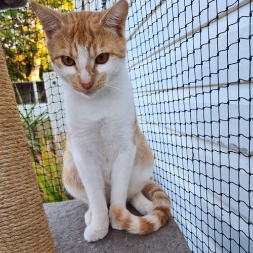 Saffron - Domestic Short Hair Cat