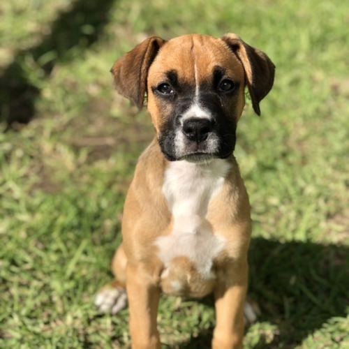 Maisey ~ Boxer X Mastiff Puppy