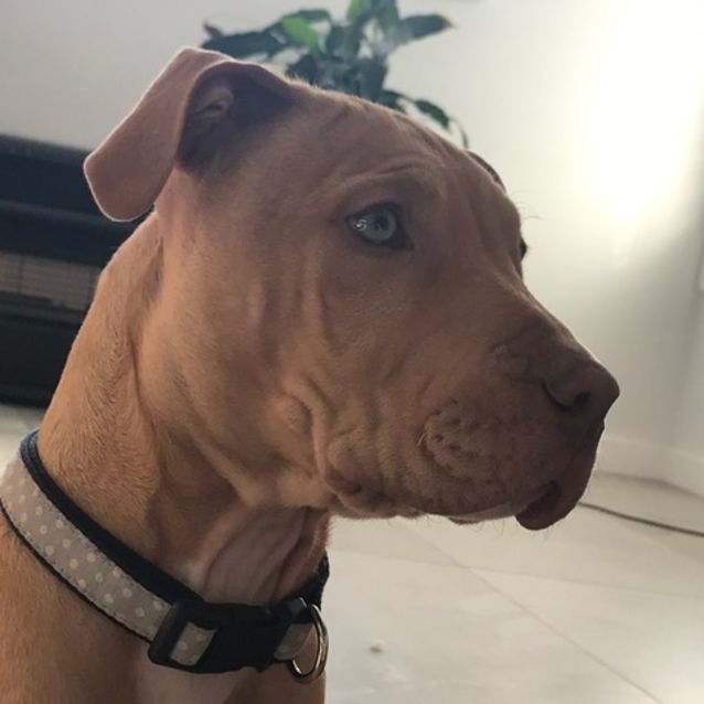Ziggy Amstaff Puppy Pend Adoption Large Male American Staffordshire Terrier Dog In Nsw Petrescue