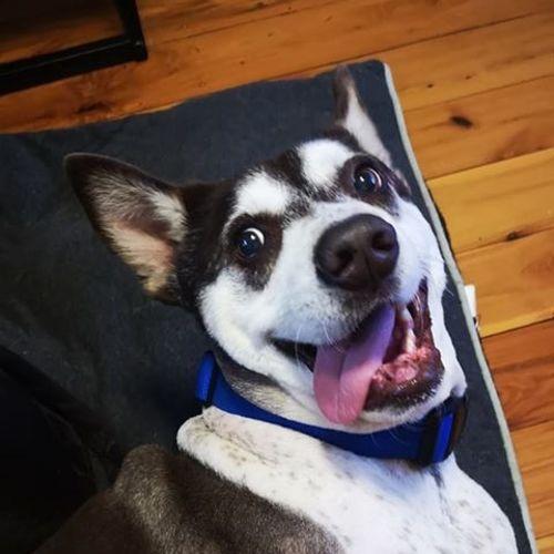 Billy the kid 🐾 - Siberian Husky Dog