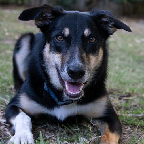 Jango DB499 - Labrador x Kelpie Dog