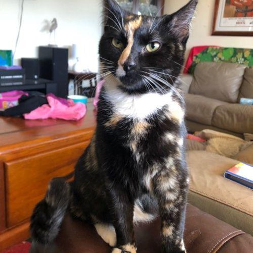 Karma - Domestic Short Hair Cat