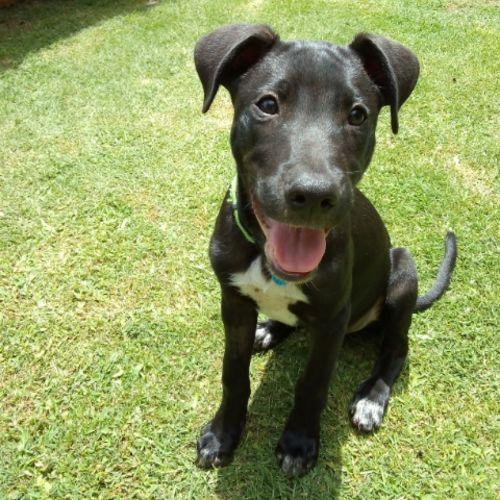 Jackson ~ Adoption Pending ~ - Border Collie x Bull Arab Dog