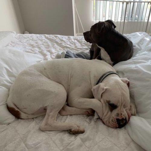 Diesel & Gypsy - Bull Arab x Mastiff Dog