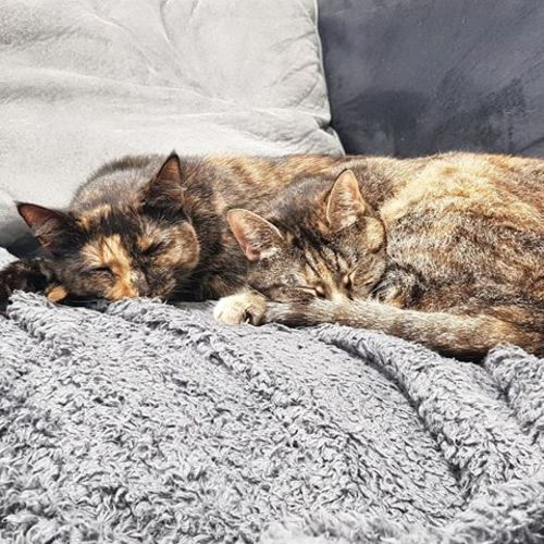 Nutmeg and Duchess - Domestic Short Hair Cat