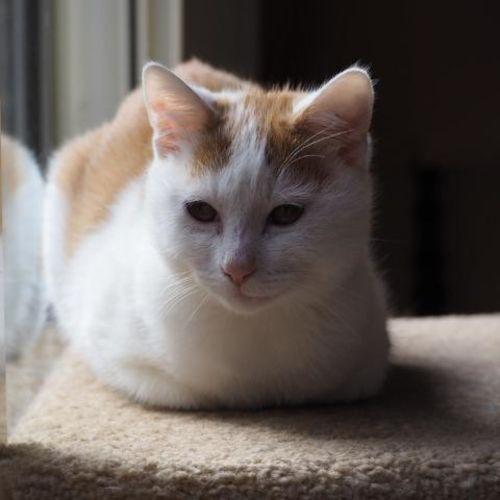 Zoiberg - Domestic Short Hair Cat