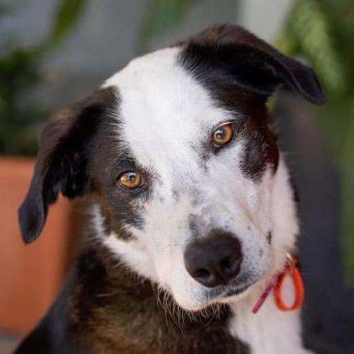 Bessie - Border Collie x Beagle Dog