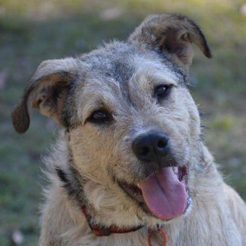 Callie - Wolfhound Dog