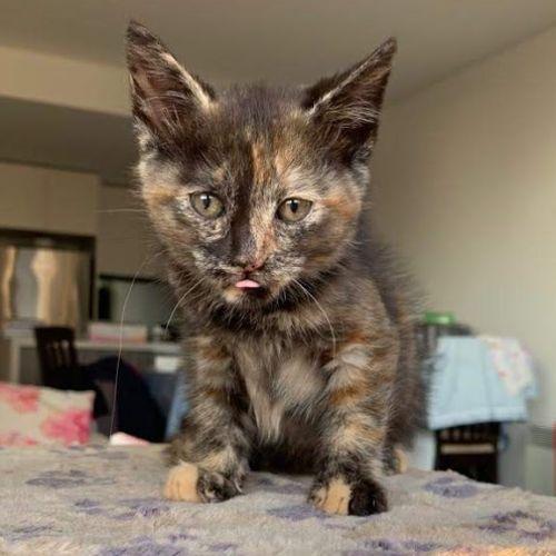 Vegas - Domestic Short Hair Cat