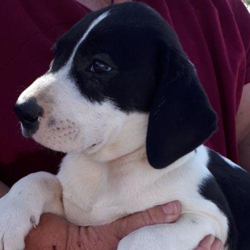 Daisy Dixie Dolly - Mastiff Dog