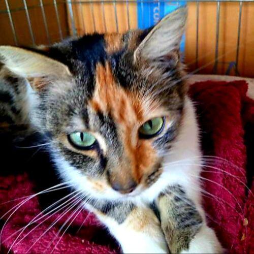 Chanel - Domestic Medium Hair Cat