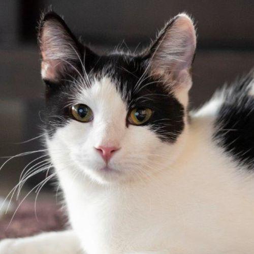 Briannah - Domestic Short Hair Cat