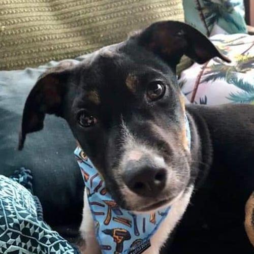 Stitch - Kelpie Dog