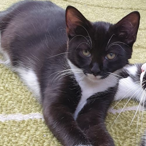 Cassy - Located at Neko HQ, Preston  - Domestic Short Hair Cat