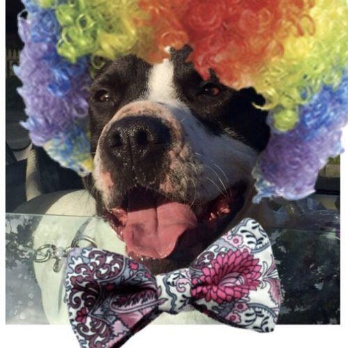 Rupert  - Staffy Dog