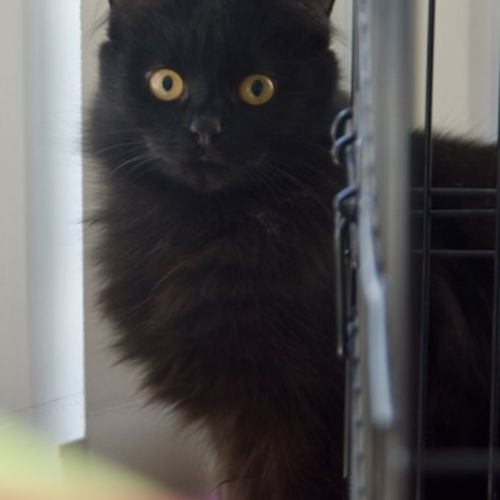 Dahlia IF020-18 - Domestic Medium Hair Cat