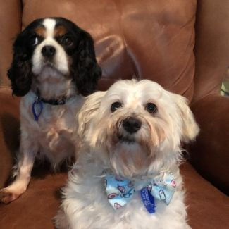 Ruby and Wilson ~ 7 year old Cavalier and Maltese