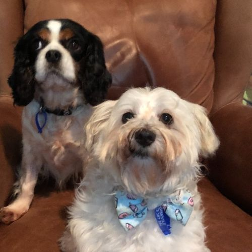 Ruby and Wilson ~ 7 year old Cavalier and Maltese  - Cavalier King Charles Spaniel x West Highland White Terrier x Maltese Dog
