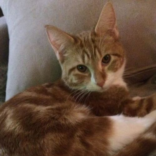 Bridie- playful little thing - Domestic Short Hair Cat