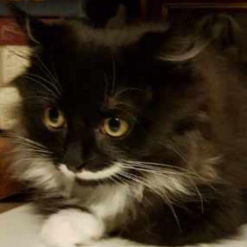 Jasper to go with Twiggy - Domestic Medium Hair Cat