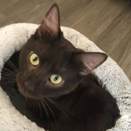 Penelope - Domestic Short Hair Cat