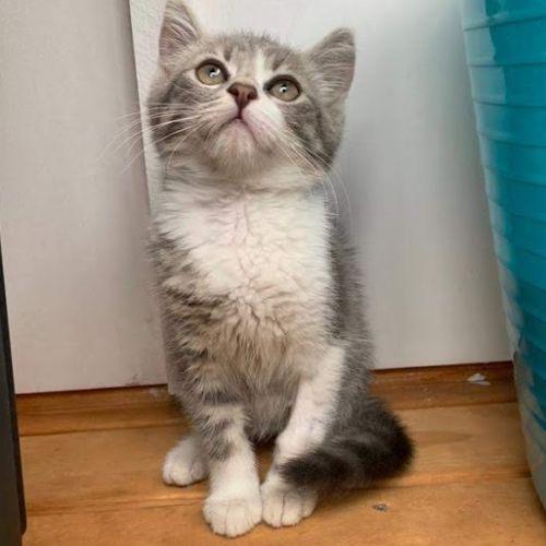 Jarrah - Domestic Short Hair Cat