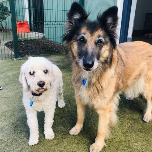 Bella and Marshmallow - Belgian Shepherd - Tervueren x Cocker Spaniel x Poodle Dog