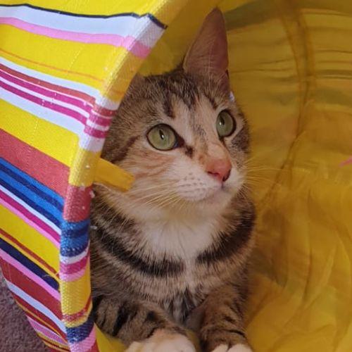 Anastasia ^^Dandy Cat Rescue^^ - Domestic Short Hair Cat