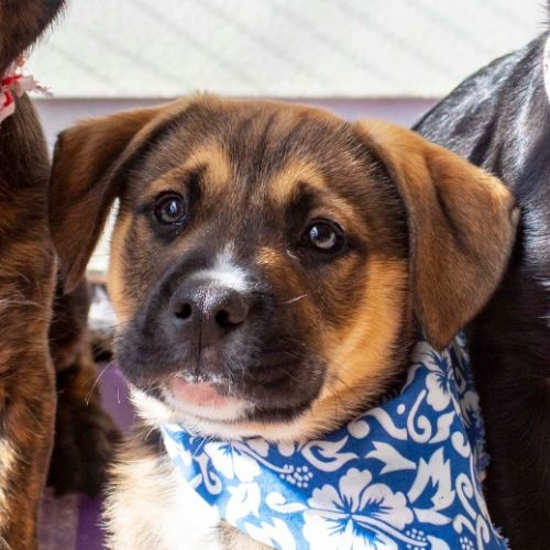 Angelo ~ Border Collie X Wolfhound Puppy - Border Collie x Wolfhound Dog
