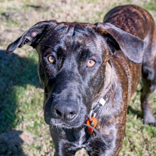 Hades - Bull Arab x Mastiff Dog
