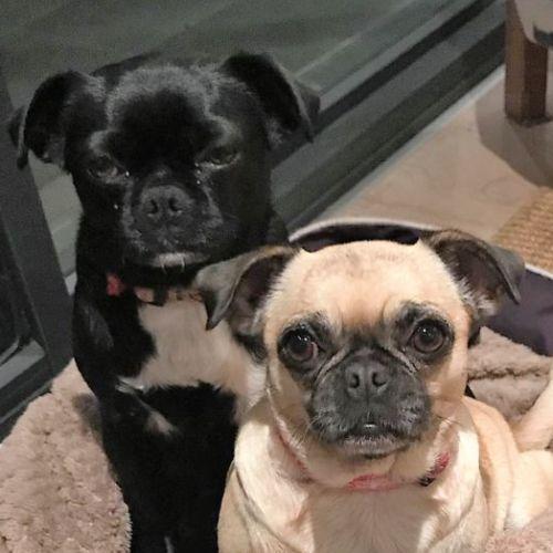 Pasquelina and Phyrne - Pug Dog