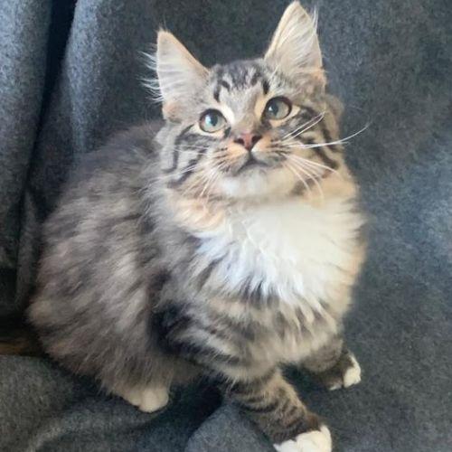 Ferrero - Domestic Long Hair Cat
