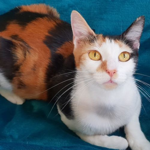 Brulee - Domestic Short Hair Cat