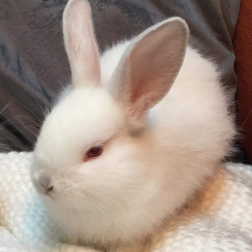 Pearl - Himalayan Dwarf Rabbit