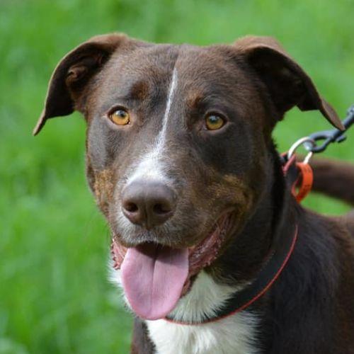 Denver - Kelpie Dog