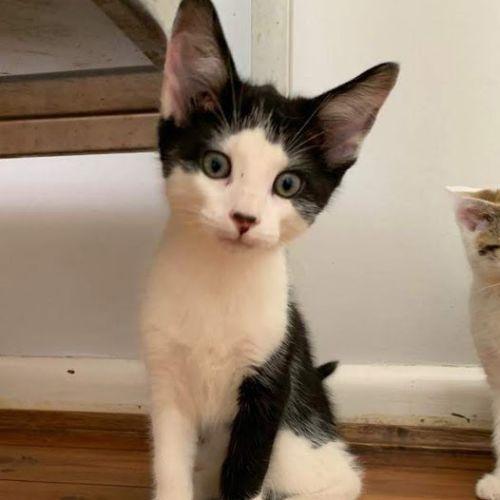 Kaspar - Domestic Short Hair Cat