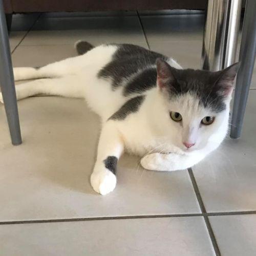 Dre - Domestic Short Hair Cat