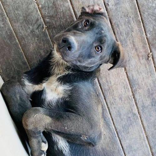 Kramer - Kelpie Dog