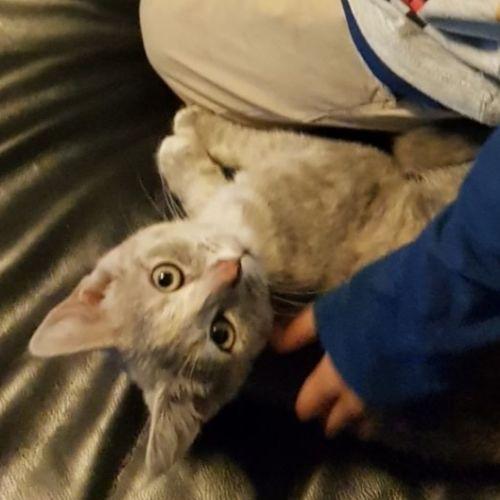 Rosie - Munchkin Cat