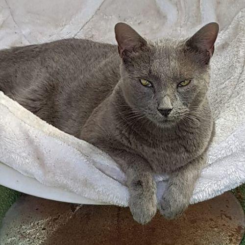 James  - Domestic Short Hair Cat